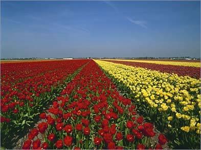 Holanda campos de bulbos