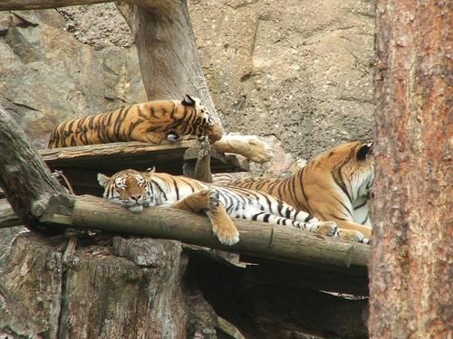 Tigres durmiendo