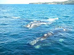 Puerto Madryn - alumbramiento ballenas
