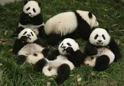 reserva-de-osos-panda-gigantes1