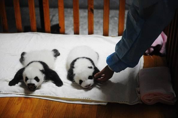 reserva-de-osos-panda-gigantes2