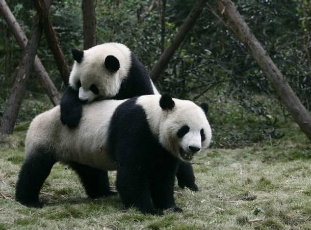 la reserva de osos panda