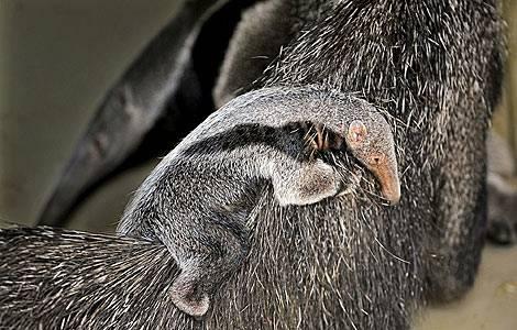 oso-hormiguero