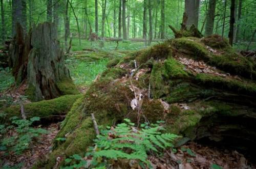 El bellísimo Bosque de Bialowieza 1