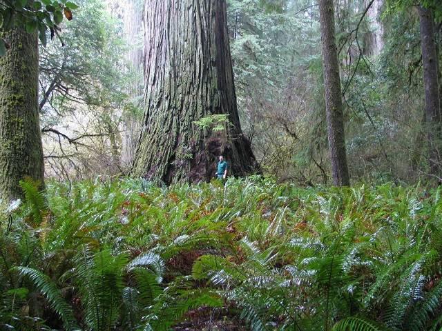 Parque Nacional Redwood