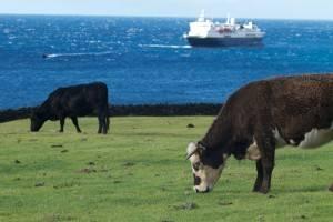 La isla más remota del mundo - Tristán de Acuña (Vacas pastando)